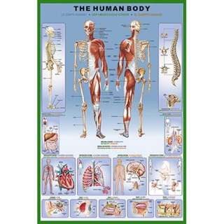 HUMAN BODY POSTER 36X24 INCHES 