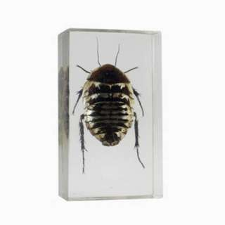 REAL BUGS-POLYPHAGA COCKROACH 
