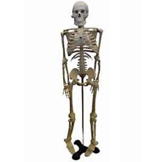 HUMAN SKELETON -18 (46CM) HEIGHT WITH STAND